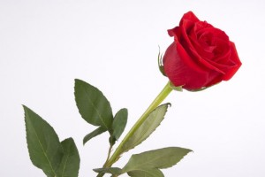 Rose for teachers